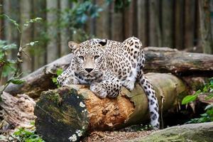 snow leopard irbis (panthera uncia) guardando avanti foto