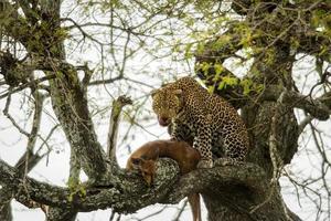 leopardo in un albero con la sua preda, serengeti, tanzania, africa