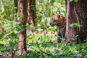 caccia al leopardo foto