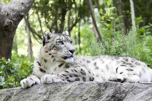 leopardo delle nevi foto