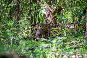 leopardo furtivo foto