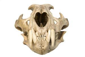 leopardo cranio foto