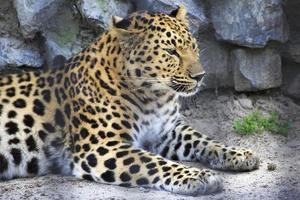 bellissimo leopardo in una gabbia. foto