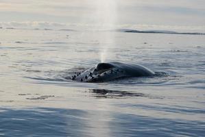 megattera nell'oceano meridionale-6. foto