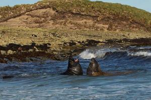elefanti marini meridionali foto