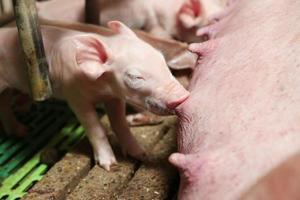 porcellini che allattano la madre foto
