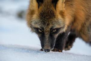 volpe rosso-nera foto