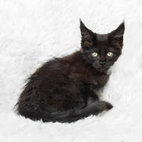 posa nera del gatto di procione lavatore di Maine