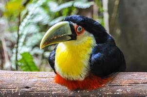Tucano colorato alle cascate di Iguazu, Brasile foto