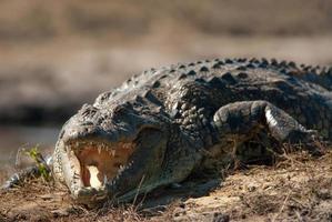 i denti scoperti del coccodrillo si chiudono su foto
