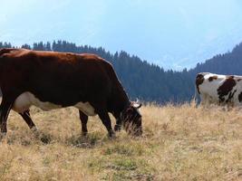 mucca con campana foto