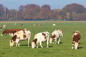 mucche foto