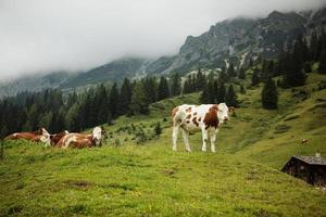 mucche al pascolo alpino foto