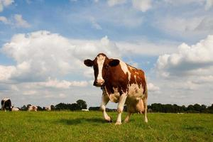 mucca olandese foto