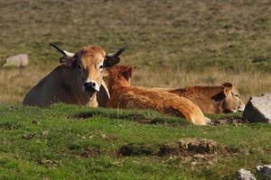 vache d'aubrac et son veau foto