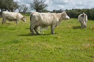 mucche charolais foto