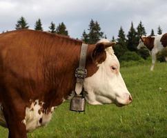 mucca svizzera. foto