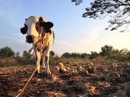 latte di mucca foto