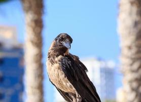 corvo seduto sulla pietra sullo sfondo sfocato urbano.