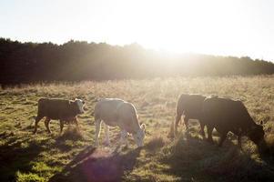 linea di mucca foto