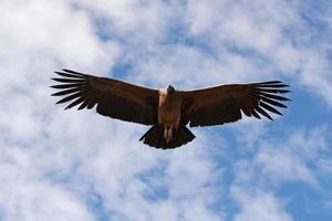 condor andino che vola nel canyon del colca arequipa. foto