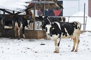 mucche fredde foto
