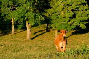 mucca felice