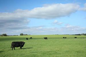 mucche danesi foto