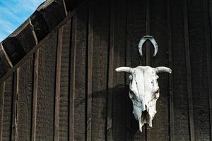 teschio di mucca foto