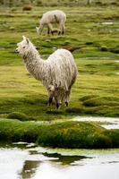 canyon del colca: alpaca e lama su un pascolo foto