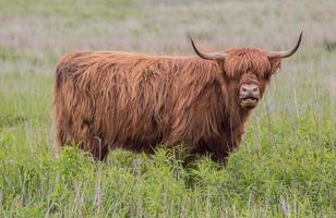 mucca di Higland foto