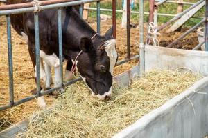mucca che mangia foto
