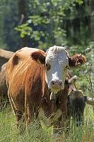 giovane mucca foto