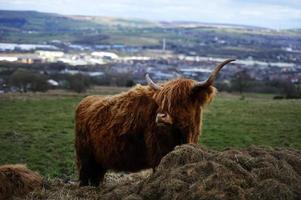 mucca dell'altopiano