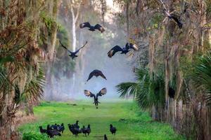 avvoltoi danzanti foto