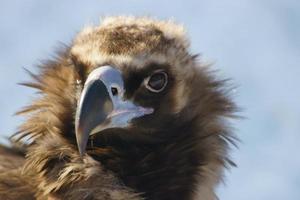 avvoltoio nero. foto