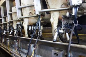 mucche - sala di mungitura foto