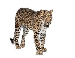 ritratto di leopardo, panthera pardus, in piedi, girato in studio