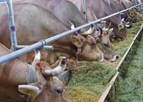 allevamento di mucche svizzero foto