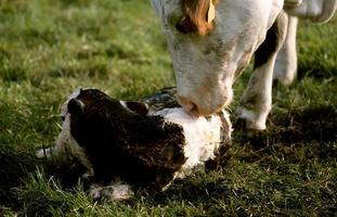 mucca che lecca il suo vitello appena nato foto
