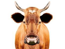 mucca marrone foto