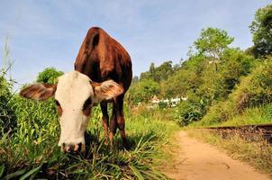 mucca davanti al tempio buddista, ella, sri lanka