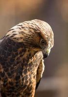 il falco di Swainson