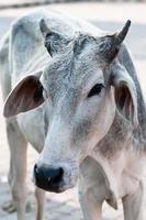 mucca sacra foto