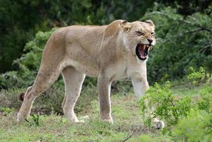 leonessa ringhiando