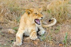 cucciolo di leone che ringhia Sudafrica