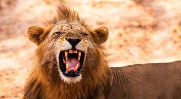leone che mostra i denti