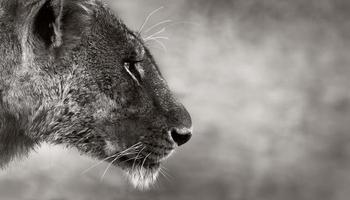 vista laterale del leone foto