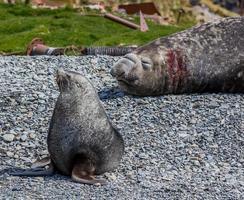 foca di pelliccia e elefante marino sull'isola di stomaco foto