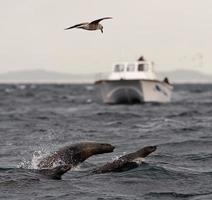le foche nuotano e saltano fuori dall'acqua. foto